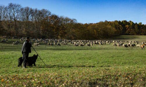 Dobrý pastýř dává za ovce svůj život