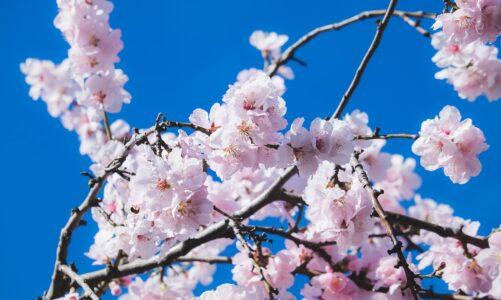 Tradice řezu větviček ovocných stromů se dostala i do legendy o sv. Barboře