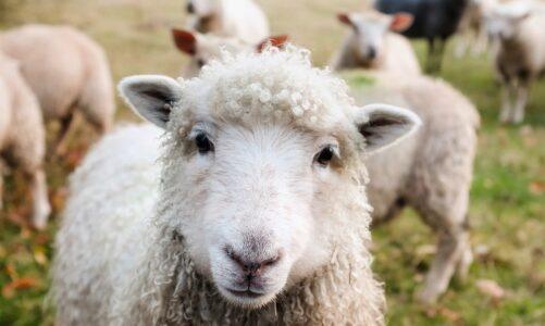 Já jsem dobrý pastýř; znám svoje ovce