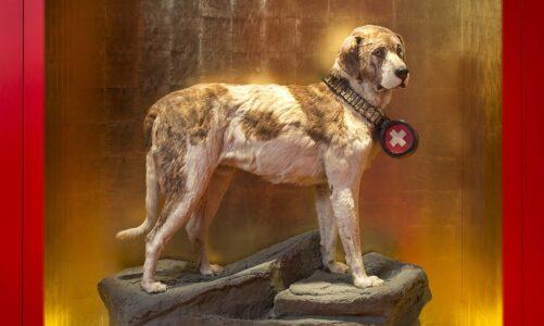 Nejslavnější záchranářský pes? Barry z průsmyku sv. Bernarda. Vychovali jej mniši