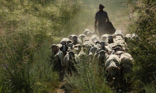 Já jsem dobrý pastýř a znám svoje ovce